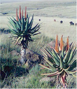 Typical Cape Alos, Aloe ferox. Picture from Wikipedia commons.