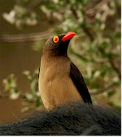Oxpecker (Buphagus africanus). Picture from Wikipedia commons
