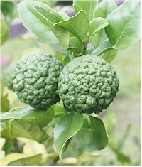 Leaves and fruits from CITRUS HYSTRIX 8kaffir lime). Picture taken from Wikipedia Commons