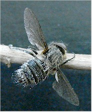 Fly infected with Entomophtora spp. Picture from Wikipedia Commons