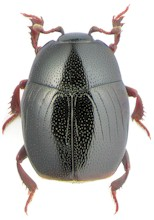 Gnathoncus nanus. Picture from www.zin.ru