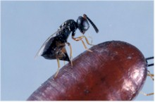 Muscidifurax wasp depositing an egg in a fly pupa. Picture from Wikipedia Commons