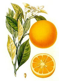 Oranges, the major source of D-limonene, a natural flea insecticide. Picture taken from Wikipedia Commons