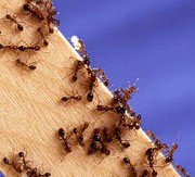 Fireants. Oicture from Wikipedia commons