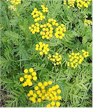 Tansy plants. Picture from Wikipedia Commons.