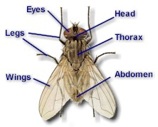 Anatomy of an typical insect (fly). Copyright P. Junquera