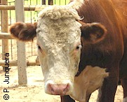 European cattle are more susceptible to ticks and tick-borne diseases