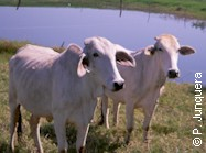 Zebu cattle (Bos indicus)