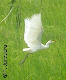 Cattle egret, a tick consuming bird