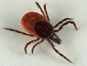 Ixodes ricinus, engorged adult female. Picture from Jarmo Holopainen
