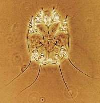 Notoedres cati female mite. Picture from M. Campos Pereira
