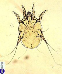 Otodectes cynotis, female mite. Picture from M. Campos Pereira