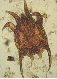 Psoroptes equi mite. Image from www.ufr.br