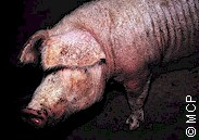 Pig heavily infested with sarcoptic mange. Picture from M. Campos Pereira