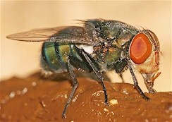 Chrysomyia megacephala, adult fly. Picture from Wikipedia Commons.