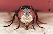 Cochliomyia hominivorax, the New World Screwworm fly. Frontal view. Picture from M. Campos Pereira