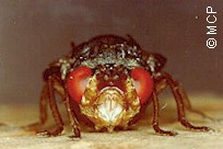 Dermatobia hominis, frontal view. Picture from M. Campos Pereira