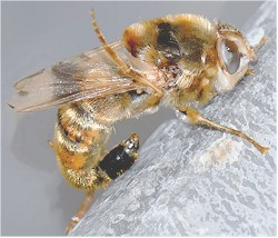Gasterophilus intestinalis, adult fly. Image taken from http://imgkid.com