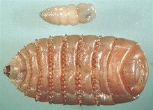Gasterophilus intestinalis, early larva (top) and mature larva (bottom). Image taken from wikipedia.commons