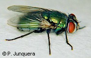 Lucilia cuprina, adult fly