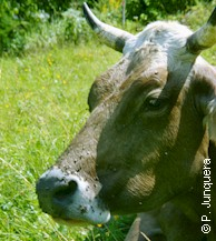 Face flies (Musca autumnalis) on a cow