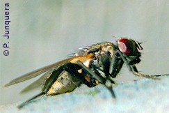 Housefly (Musca domestica), intermediate host of Choanotaenia infundibulum.