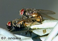 Mating houseflies (Musca domestica)