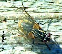 Adult housefly (Musca domestica)