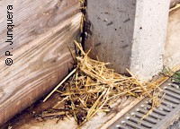 Organic waste in a pig farm: ideal breeding place for houseflies