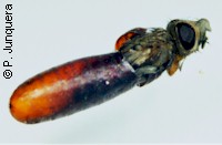 Adult housefly (Musca domestica) hatching out of the pupa