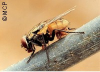 Fly carrieng mites on its abdomen