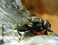 Adult false stable fly (Muscina stabulans)