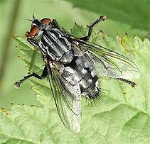 Adult flesh fly (Sarcophaga spp). Image from Wikipedia commons