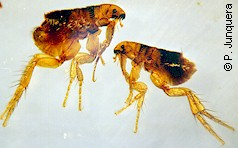 Cat fleas (Ctenocephalides felis): adult female (left) and male (right)
