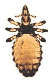 Haematopinus asini, the horse biting louse. Picture from wikipedia commons.