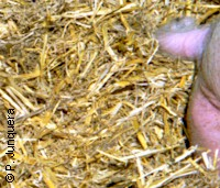 Straw bedding in a piggery: ideal breeding place for stable flies.