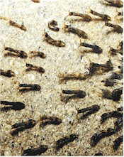 Black fly larvae in a stream. Picture from Wikipedia Commons