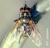 Stable fly (Stomoxys calcitrans) resting on a piece of wire. Dorsal view.