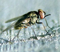 A typical parasitic fly, the stable fly (Stmoxys calcitrans)