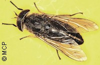 Horse fly (Tabanus spp.). Picture of M. Campos Pereira