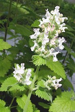 Nepeta cataria. Picture from www.xn--kruterey-1za.com