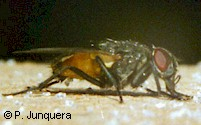 Adult housefly (Musca domestica), the principal target of all fly baits.