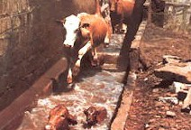Cattle jumping into a plunge dip.