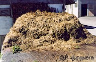 Manure heap: a breeding paradise for breeding of houseflies (Musca domestica)