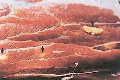Cysticercus ovis in sheep muscle. Picture from www.fao.org (Courtesy Dr. D. Baucks)
