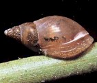 Limnaea, a snail that often acts as intermediate host  of several parasitic worms. Picture from www.ittiofauna.org.