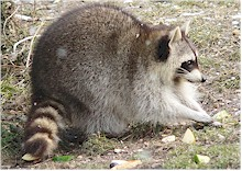 Raccoons are the final hosts of Baylisascaris procyonis. Picture from Wikipedia Commons.