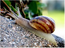 Common snail (Helix spp). Picture from Wikipedia Commons.