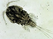 A water flea (Cyclops spp). Picture from the US Environmental Protection Agency taken from Wikipedia Commons