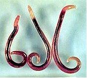 Adult Gnathostoma worms. Picture from www.vetbook.org